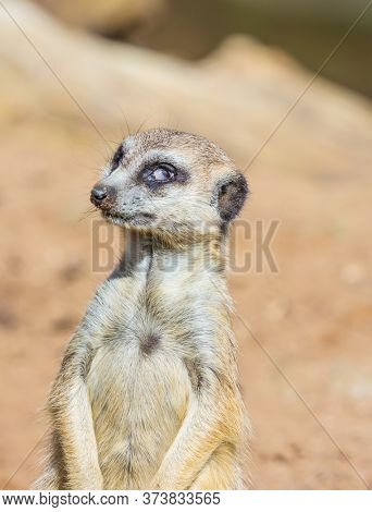 Auckland, New Zealand. Great zoo. Funny animal of meerkat mongoose in the zoo aviary. The concept of active, ecological and educational tourism
