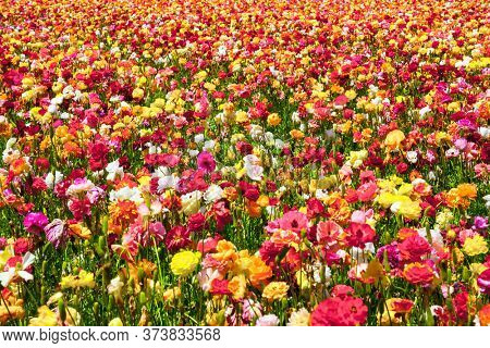 Kibbutz field of flowering colorful buttercups. Beautiful sunny spring day. Spring walk in southern Israel. Ecological, botanical and photo tourism concept