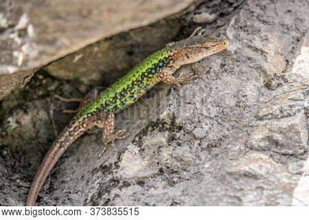 Green Lizard Crawling On A Stone Cliff. The European Green Lizard Lacerta Viridis Is A Large Lizard
