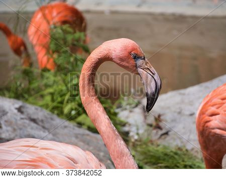 Beautiful Pink Flamingo In Close Up Hd Photo.