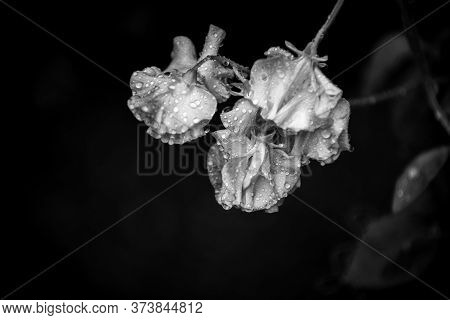 Floral Abstract Of Flower Petals With Water Droplets After Rain On Dark Background