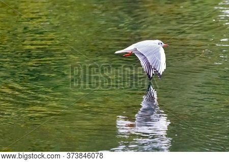 Red Billed Gull Flying Touching The Water With His Wing On The Ozero Kultuchnoye Lake In Petropavlov