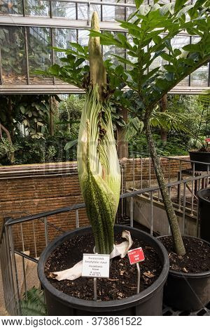 In The University Greenhouses There Is A Wilted Giant Arum