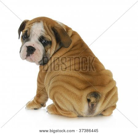 cute puppy - english bulldog puppy looking over shoulder 8 weeks old poster