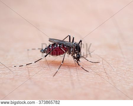 Macro Photography Of Yellow Fever Mosquito Sucking Blood On Human Skin