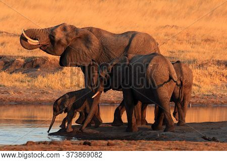 The African Bush Elephant (loxodonta Africana) Group Of The Elephants By The Waterhole At Sunset.dri