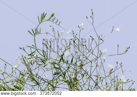 Thin Stalks Of Common Starwort With Buds And Small White Florets, Isolated On Blue. Beautiful Meadow