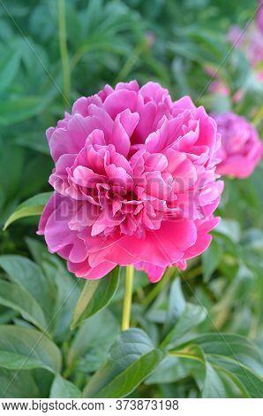 Pink Flowers Peonies Flowering. Peonies Summer Blossom.