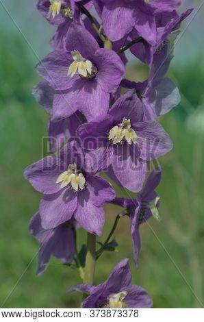 Violet Flower Of Delphinium In A Summer Garden