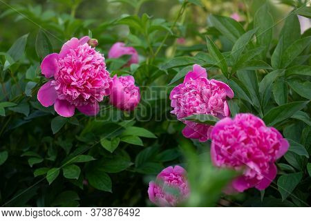 Scented Pink Peonies. Pink Trendy Colored Peony