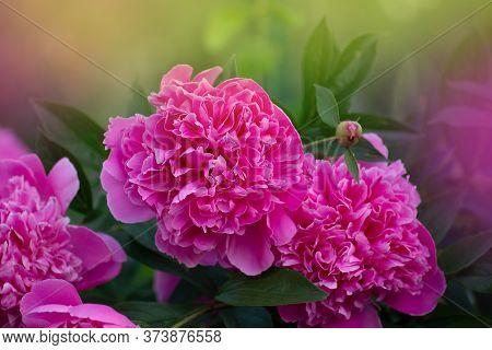 Pink Color Peonies Flower. Pink Peony Flowers In Garden.
