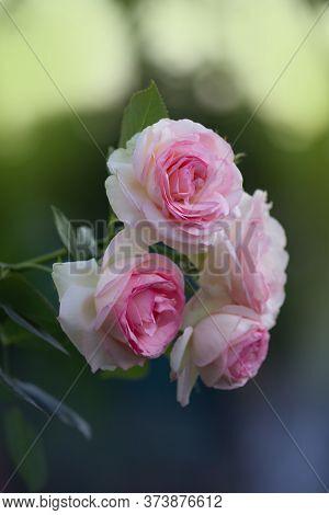 Bush Of White Roses Eden Rose. White Rose Flowers