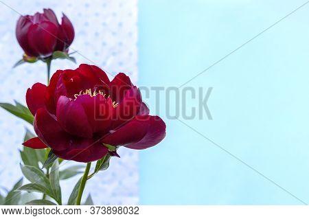 Red Blooming Peony Flower (paeonia Lactiflora Buckeye Belle) On Light Blue Background. Beautiful Bud