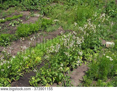 Arugula Flower. Eruca Sativa Plant. Flowering And Seed Formation. Rucola Blossom. Organic Farmland R