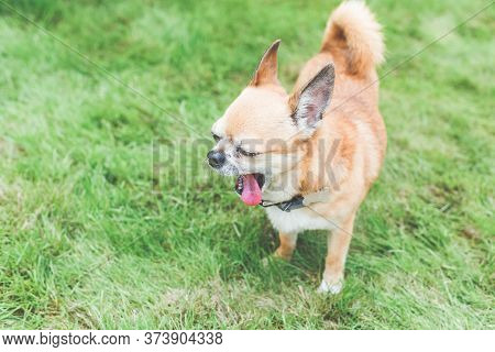 Cute Little Red Dog Chihuahua Yawns Sticking Out His Tongue In A Green Lawn Meadow, Place For Text