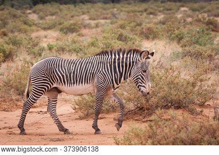 Full Body Side View Of Grevy Zebra Walking In The Bush In Samburu In Kenya