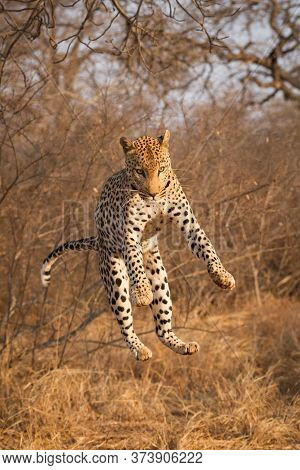 Leopard Jumping Off A Tree In Golden Afternoon Light In Kruger Park South Africa