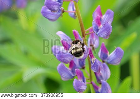 Bumble Bee Collects Pollen From The Purple Flower Of Lupine On Summer Meadow