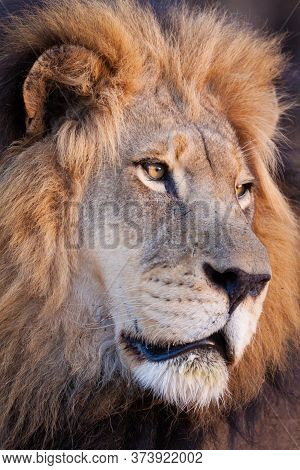 Close Up On Face Of A Beautiful Male Lion In Kruger Park South Africa