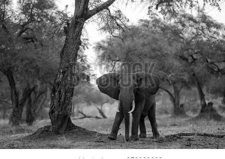 Elephant Bull Standing Between Big Trees At Sunset In The Riverfront Area Of Mana Pools National Par