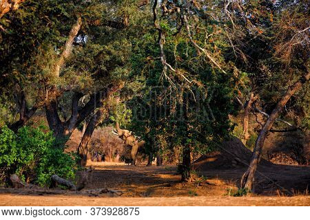 Elephant Bull Reaching For Food Between The Big Trees In Mana Pools National Park In Zimbabwe