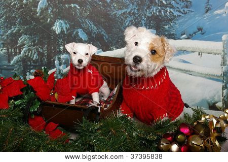 Jack Russells In A Sleigh