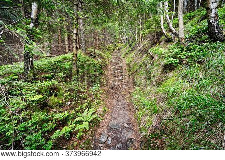 Forest Footpath, Nature With Beautiful Coniferous Woodland