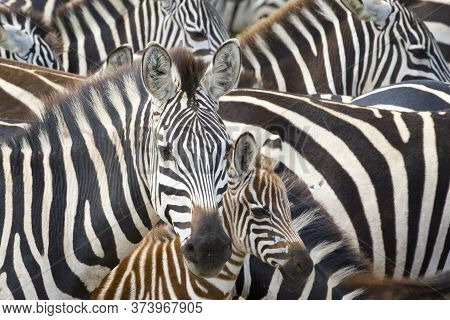 Plains Zebra (equus Burchellii) Portrait From Mother With Foal In Herd, Serengeti National Park, Tan