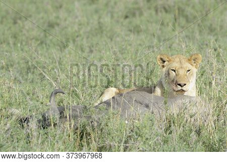 Lioness (panthera Leo) With A Just Caught Wildebeest (connochaetes Taurinus), Serengeti National Par