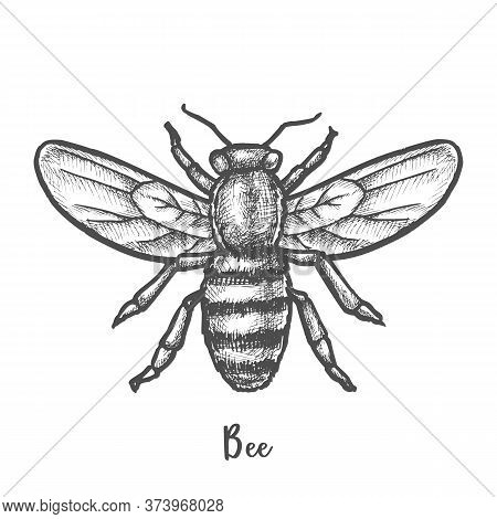Sketch Of Bee Or Hand Drawn Wasp. Insect, Honeybee