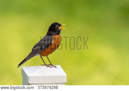 An American Robin Sitting On A Fence Pose With A Blurred Background.
