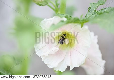 Bumblebee Bee Collecting Pollen From A Beautiful Old Fashioned Soft Pink Hollyhock, Althaea Rosea (a