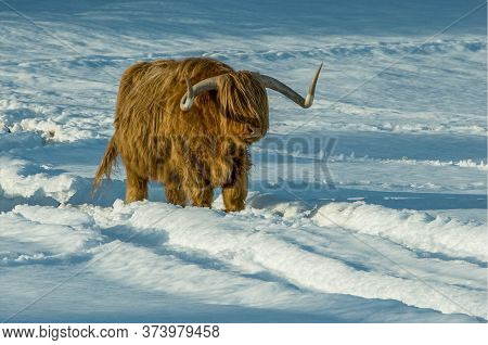 A Highland Cow Walking Through Snowy Field
