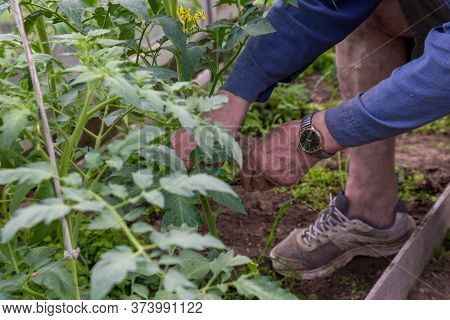 Men Adult Pinch And Remove Suckers On Tomato Plant