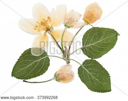 Pressed And Dried Delicate Transparent Flower Apple Tree, Isolated On White Background. For Use In S