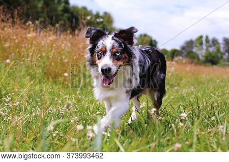 Beautiful Juvenile Male Blue Merle Australian Shepherd Dog Walking Through A Summer Field.  Selectiv
