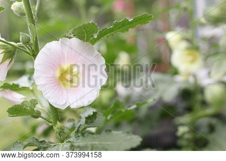 Beautiful Old Fashioned Soft Pink Hollyhock, Althaea Rosea (alcea Rosea), Flower Growing In A Garden