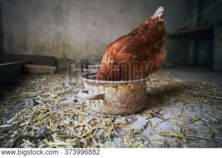 Hen With Free Range Eating From Obsolete Pot Inside Small Organic Farm.