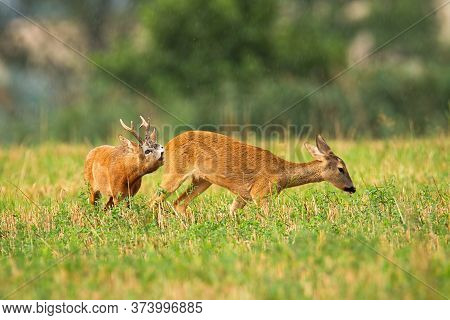 Couple Of Roe Deer Buck And Doe In Rutting Season On Agricultural Field
