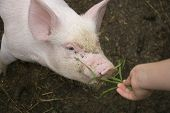 Young piglet eating grass on a farm poster