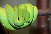 Green tree python snake wrapped on a branch viridis chondropython poster