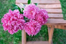 Pink Peony Flowers On A Wooden Chair In The Garden. Bright Summer Bouquet. Gardening And Flowers Gro