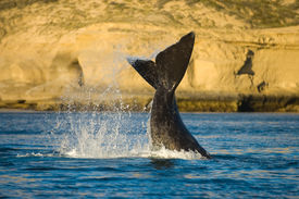 Right Whale, Patagonia, Argentina.