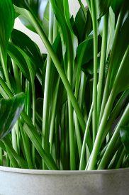 Green Stems Of The Indoor Plant Aspidistra Elatior. Vertical Orientation, Close-up.