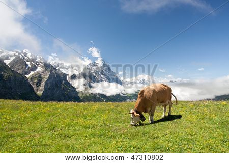 Grazing Cow In Alps