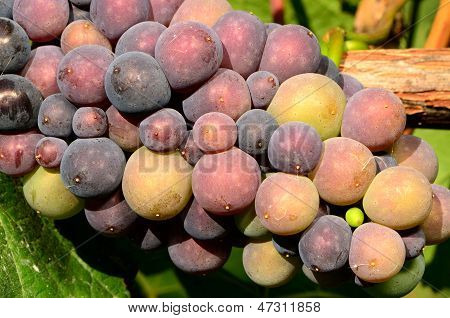 Henry Grapes
