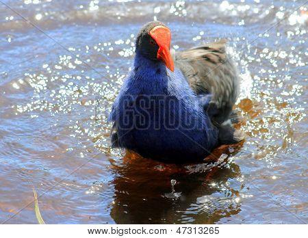 A Pukeko Splashing in a Pond
