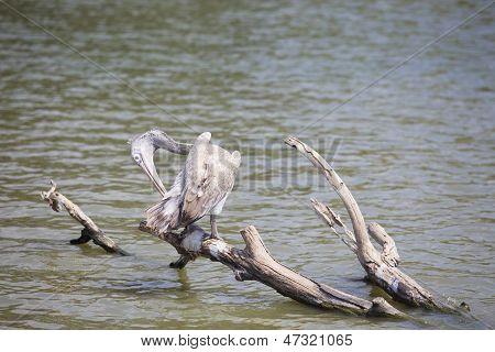 spot billed pelican on tree branch