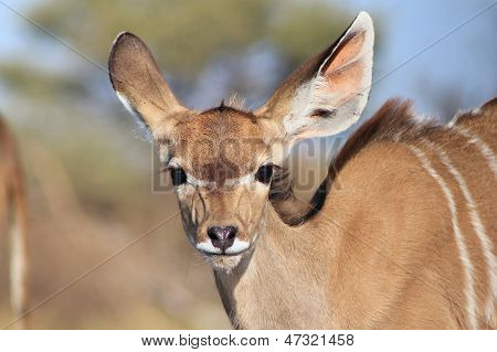 Kudu calf's adorable stare of innocence - Wild Africa