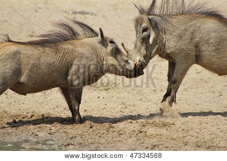 Warthog - Wildlife Background from Africa - Fight of Pigs
